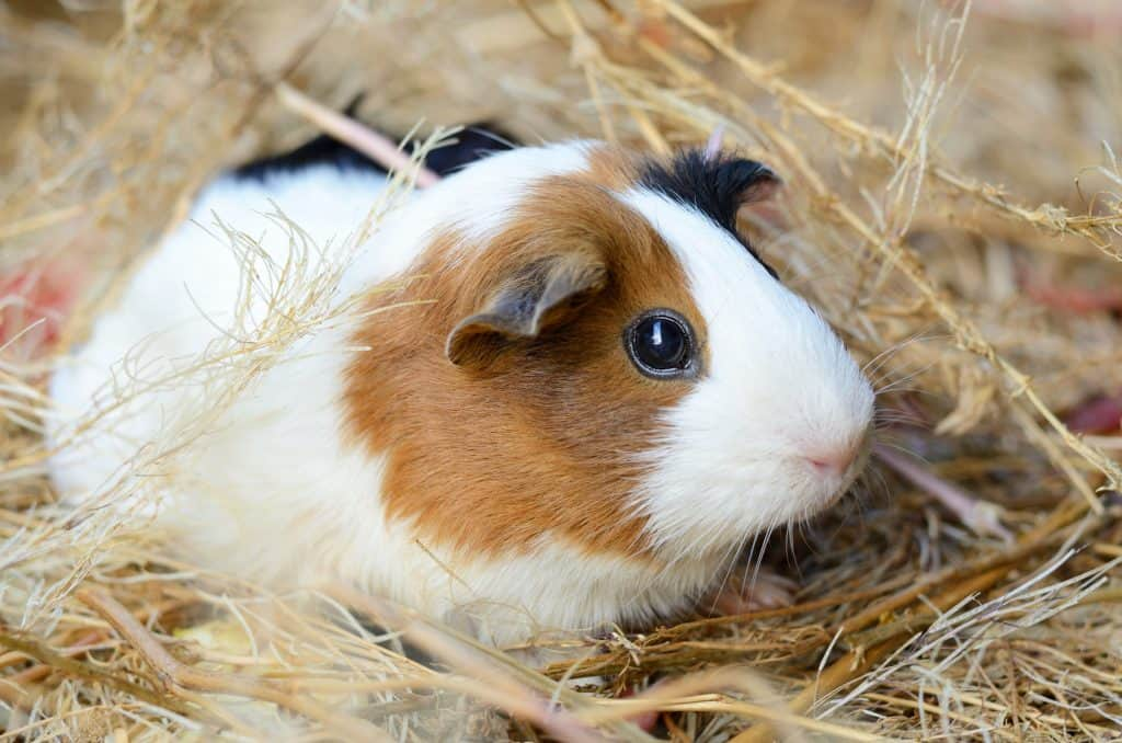 Latest Guinea Pig Articles