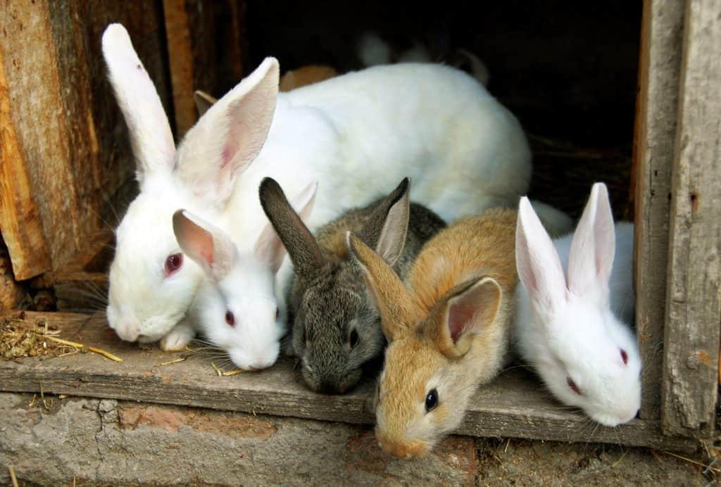 Pet Rabbits